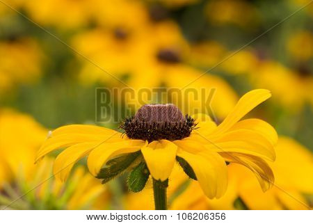 Black-eyed Susan flower on yellow and green summer background