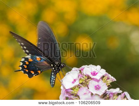 Pipevine Swallowtail butterfly feeding on light pink Phlox in summer garden, with yellow flowers on background