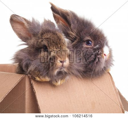 Side view of two cute lion head rabbit bunnys sitting in a cardboard box.