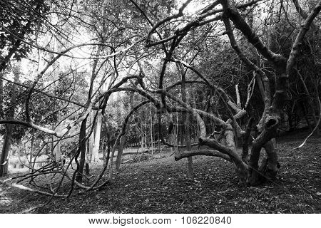 Old Tree In Garden.monochrome Color