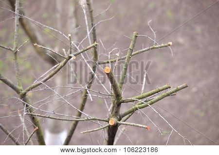Trees Set With Branches Cut. Spring Cleaning Of The Dry Branches And Aged