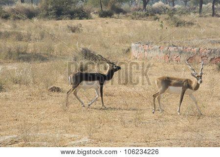 Black bucks