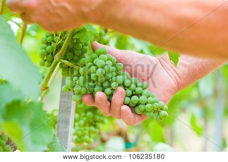 Well Grown Grape