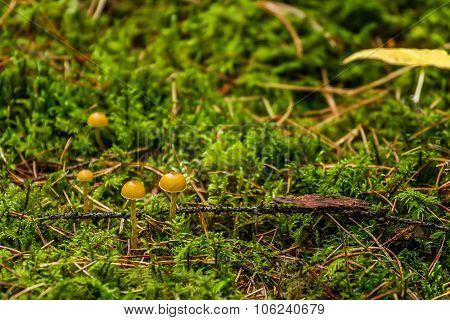 Many Mushrooms In Shaman