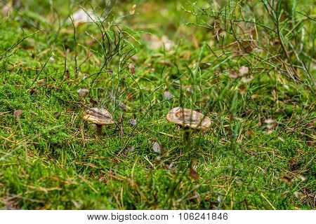 Two Mushrooms In Shaman