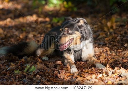 Collie Dog On Leaves