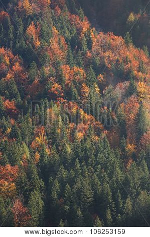 Aerial Shot Of Coniferous And Deciduous Mountain Forest In Autumn Colors