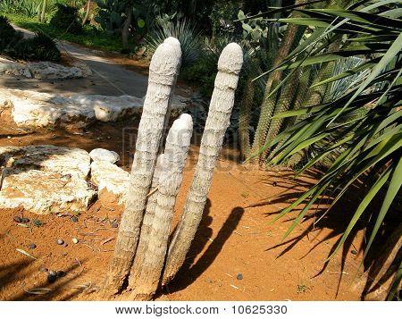 Ramat Gan Park Old Man Cactus 2010