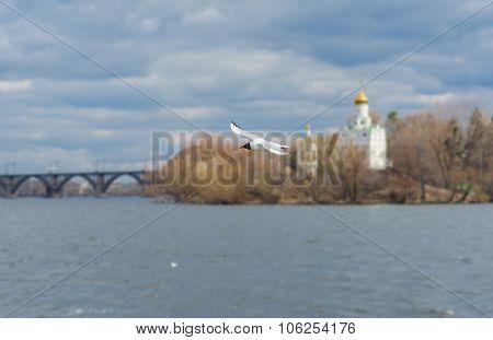 Wild gull flying over Dnepr river