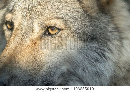 Part Muzzle Of A Gray Wolf Closeup