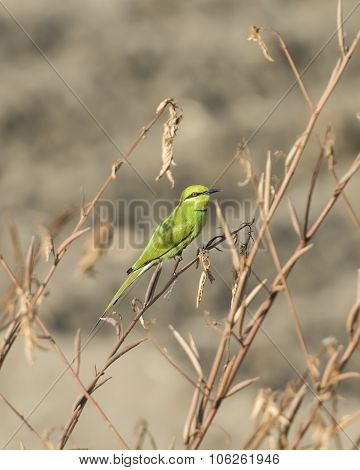 Little Green Bee-eater On Perch