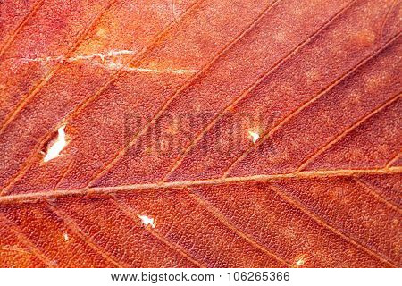 Natural texture colorful, dry, red leaf. macro view
