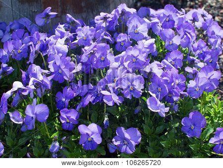 Sweet Purple Violet Flowers