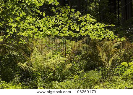 Forest Glade With Beech Branches And Fern Plants