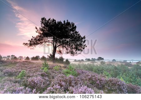 Heather Flowering At Misty Sunrise