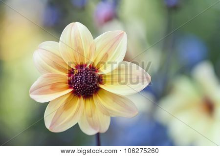 Yellow petals flower with dark red center. Blooming garden flower.