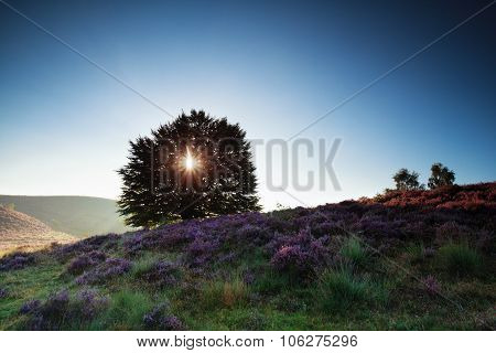 Sunshine Through Oak Tree And Pink Heather