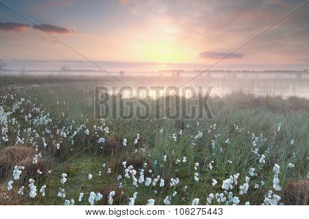 Gold Misty Sunrise Over Swamp With Cotton-grass