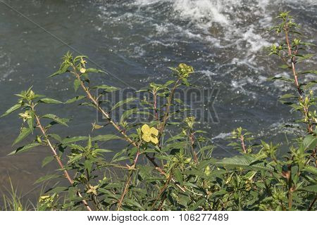 Yellow Flowers On The River