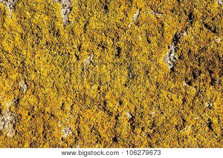 Yellow Lichen (xanthoria Parietina) On Rock