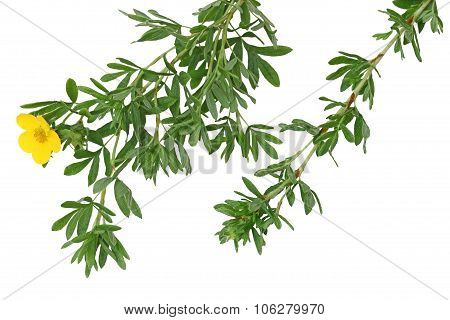 Monrovia Potentilla Leaf