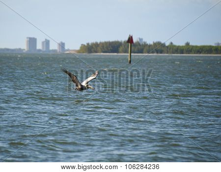Brown Pelican Cruising Tampa Bay