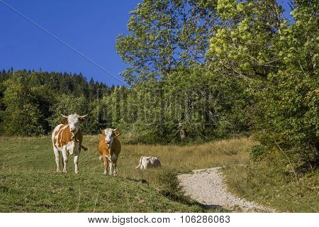 Two Cows Beside Hiking Path In The Alps