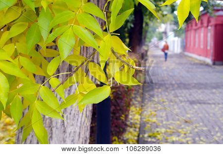 Ash Tree With Yellow Leaves And Pavement Tiles