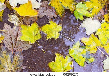 Overhead View Of A Wet Autumn Maple Leaves Closeup