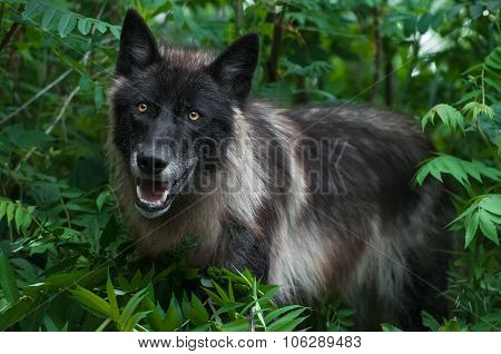 Black Phase Grey Wolf (canis Lupus) In Greenery