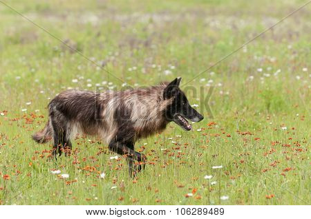 Black Phase Grey Wolf (canis Lupus) Looks Right In Field