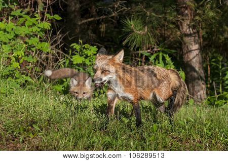 Red Fox Vixen (vulpes Vulpes) Stalked By Kit