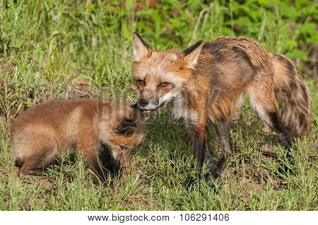 Red Fox Vixen (vulpes Vulpes) And Kit
