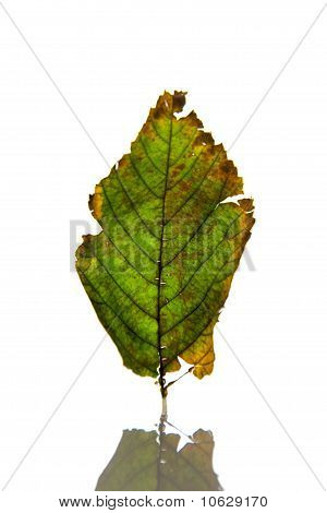 Single Fall Leaf Upclose On White Background