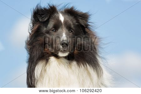 Shetland Sheepdog Outdoors In Nature
