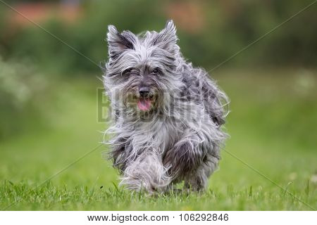 Pyrenean Shepherd Dog Outdoors In Nature