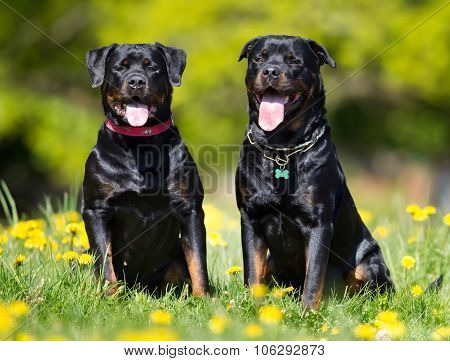 Happy And Smiling Rottweiler Dogs
