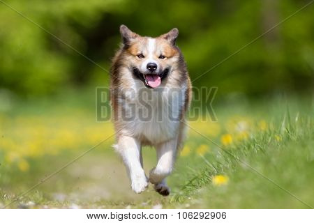 Happy And Smiling Icelandic Sheepdog Running
