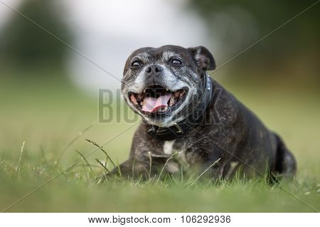 Senior Staffordshire Bull Terrier