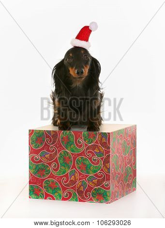 Longhaired Dachshund Dog With Santa Claus Hat