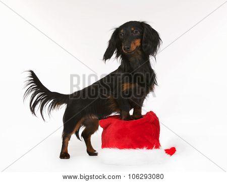 Longhaired Dachshund Dog On Santa Claus Hat