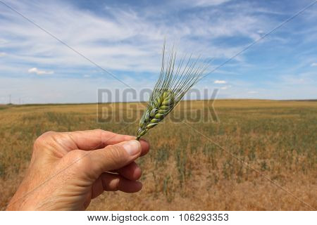 Wheat head held against field and sky