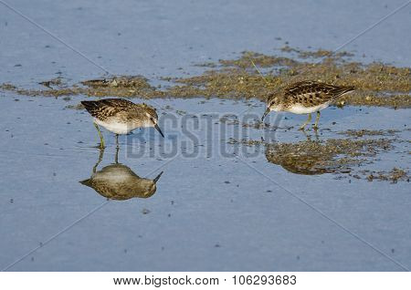 Least Sandpipers Searching For Food In The Shallow Blue Water
