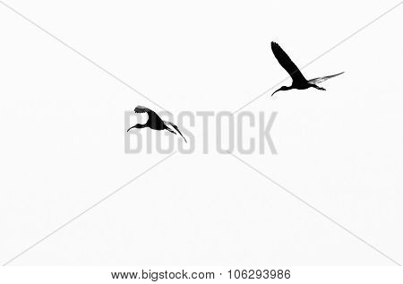 Two White-faced Ibis Silhouetted On A White Background