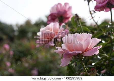 Delicate Pink Roses In Garden On Blurred Background