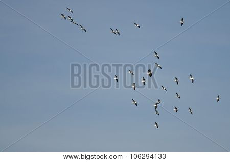 Flock Of American White Pelicans Flying In A Blue Sky