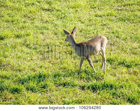 European Roe Deer browsing on the glade