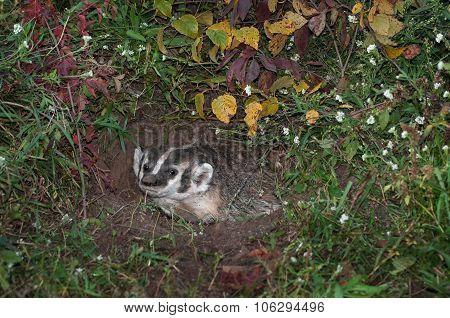 North American Badger (taxidea Taxus) Gazes Out From Burrow