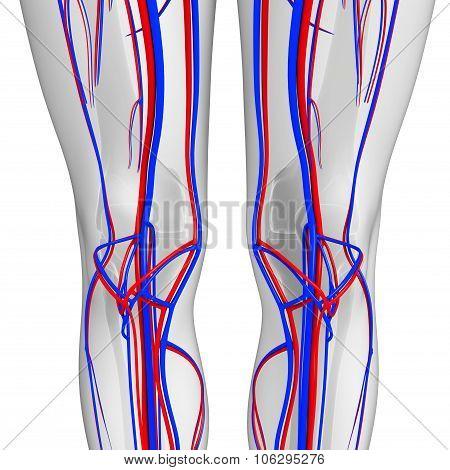 Knee Circulatory System