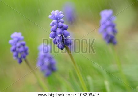 A Muscari Armeniacum Flower Or Commonly Known As Grape Hyacinth In A Defocused Spring Garden